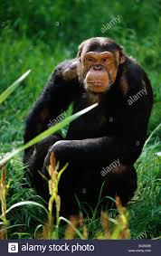 Zoology Animals Mammal Mammalian Apes West African Chimpanzee Pan Troglodytes Verus Sitting In Grass Distribution C