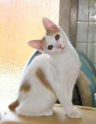 bobtail cat japanese bobtail cats your choice for a playful active and