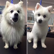 American Eskimo Shedding Problem by My Dog After A Proffessional Cut Before And After Rebrn Com