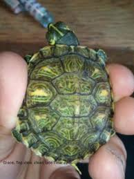 turt shell c f13
