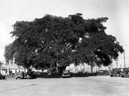 Andrew Cooper Planted This Moreton Bay Fig Tree In Los Angeles 1876 By The