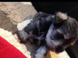 Do Giant Schnauzer Dogs Shed Hair by Adam Rocha Miniature Schnauzer Puppies For Sale