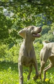 Do Long Haired Weimaraners Shed by Weimaraner Dog Breed Information Pictures Characteristics