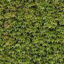 Green Hedge Texture Seamless 13102