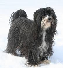 Dogs That Shed Hair by Tibetan Terrier Wikipedia