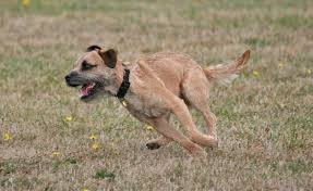 Do Border Terriers Shed by Discussion Weekend Breed Border Terrier Dogs