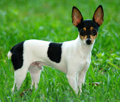Small Dogs That Shed The Most by Toy Fox Terrier Wikipedia