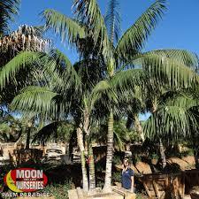 Caribbean Agave Succulents Moon Valley Nurseries
