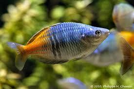 poisson eau douce aquarium tropical top 10 des plus beaux poissons d eau douce maganimal
