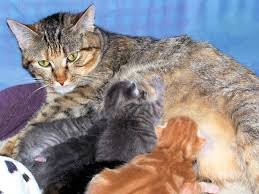 cat stop why would a cat stop nursing its kittens pets