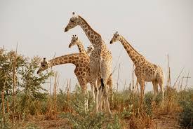 Giraffe In Koure Niger Three Giraffes