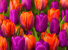 princes and princesses quality flower bulbs tuliplovers