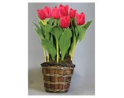 tulip flower bulb gift basket