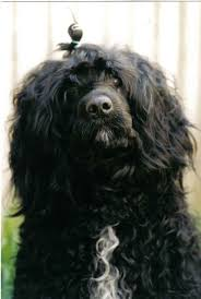 Portuguese Water Dog Non Shedding by Why Consider A Portuguese Water Dog For Your Home Bluegrace