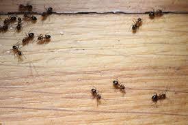 fliegende ameisen in haus und garten bekämpfen gartendialog de