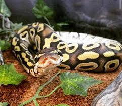 ball python substrate options reptifiles ball python care guide