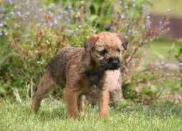 Do Border Terriers Shed by A Review Of The Best 70 Hypoallergenic Dogs That Don U0027t Shed Small
