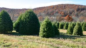 Plantable Christmas Trees Nj by Christmas Tree Growers In New Jersey