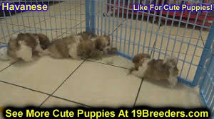 Non Shedding Small Dogs For Adoption by Havanese Puppies Dogs For Sale In Newark New Jersey Nj