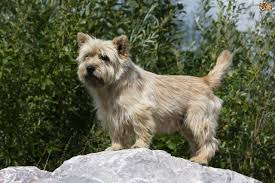 Dogs That Shed Minimally by Scratch Dog Or Not U2013 Are Cairn Terriers Hypoallergenic