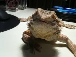 Bearded Dragon Shedding Nostrils by Posible Respiratory Infection U2022 Bearded Dragon Org