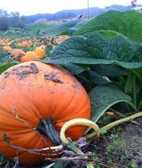 Sauvies Island Pumpkin Patch Corn Maze by Pumpkins Kruger U0027s Farm