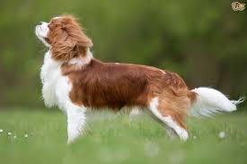 Welsh Springer Spaniel Shedding by Cavalier King Charles Spaniel Dog Breed Information Buying Advice