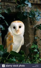 Barn Owl Tyto Alba Looking Out Of Old Barn Window With Ivy ... Standing Twelve Weekold Barn Owl Side View Stock Photo Getty Images Boxes South Downs National Park Authority Old Man Of Minsmere Aka John Richardson Gorgeous Birds In Folklore Owls And Ravens Randomdescent Orbit The 5 Weekold Baby Who Has Been Hand Ared By Owl Wikipedia Coda Falconry On Twitter Our 7 Week Old Barn Was Bred At Dont Go Deaf New Zealand Geographic Australian Masked Rescuing Owls Tropic Wonder Audubon Art Print Vintage Nature Bird Eyfs Blog Archive Wise