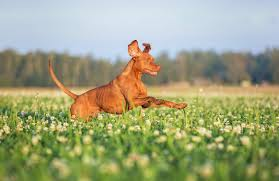 Do Vizsla Dogs Shed by Hungarian Vizsla Pets At Home