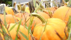 Pumpkin Picking In Waterbury Ct by Thief Pilfers More Than 100 Pumpkins From Elderly Farmer In Leba