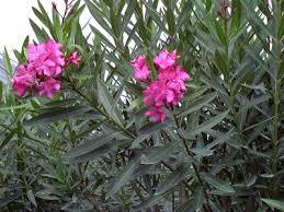 laurier nerium oleander taille bouturage entretien