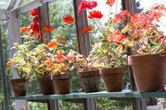 61 geranien ideen geranien pflanzen geranien pflanzen