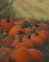 Milwaukee Pumpkin Patch Lubbock by 143 Best More Pumpkins Please Images On Pinterest Landscapes