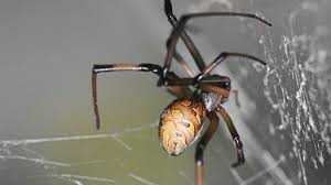 Remains Of The Day Spiders by Venomous Brown Widow Spider Gatecrashes Malaysia Star2 Com