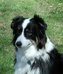 Non Shedding Small Dogs Australia by Five Facts You Need To Know Before Choosing An Australian Shepherd