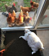 This Cat Has No Idea Why Chickens Are So Obsessed With Him ... The Chicken Chick 15 Tips To Control Rodents Around Coops Bbara Obrien Photography News 2012 Horse And Barn Cat Happy Cats Rescue San Diego Susys Musings How Build A Better Brooder For Raising Baby Chicken House Turtle Rock Farm Care Feeding Of Timber Creek Barn Cats Shibumo Sneek Thief Backyard Chickens 1110 Best Chickens Images On Pinterest Backyard Adoption Program Animal Allies Humane Society