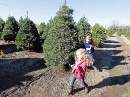 Types Of Live Christmas Trees by Christmas Tree Farms Stay Busy But Their Numbers Are Shrinking