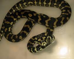 Coastal Carpet Python Facts by How Big Do Coastal Carpet Pythons Grow Carpet Vidalondon