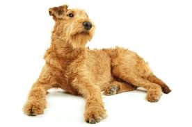irish terrier dogs and puppies dog breeds journal