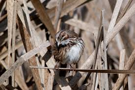 Song Sparrow   Audubon Field Guide Miley Cyrus The Backyard Sessions Look What Theyve Done To My Music For Special Kids Thanksgiving Song A Busy Lizzie Life May 2011 Band Videos Abhitrickscom Song Birdbath South Pinterest Sparrow From My Backyard In Chester Va Birds Photo 6 Of 7 La Home Exploders Hriikesh Hirway Birding Bird Songs 250 North American By Deck Garden Ideas Double Scribble Pond And Of Cards Deckers Glitzine Dont Throw Your Junk Bkyardteaching Little People Great Big World Say Something Live On The Stage 61