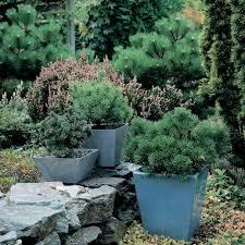 petits pins pour balcons et petits jardins monjardin org