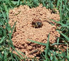 Ground Nesting Bees - LawnEQ Blog How To Kill Fleas And Ticks All Naturally Youtube Keep Away From Your Pet Fixcom Get Rid Of Get Amazoncom Dr Greenpet Natural Flea Tick Prevention Tkicide The Art Getting Ticks In Lawns Teresting Rid Bugs Back Yard Ways Avoid Or Deer Best 25 Mosquito Control Ideas On Pinterest Homemade Mosquito Dogs Fast Way Mole Crickets Treatment Control Guide