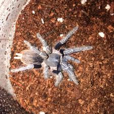 Pumpkin Patch Tarantula For Sale by Nature U0027s Exquisite Creatures Posts Facebook