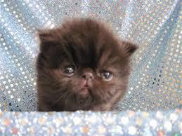 shorthair cat price shorthair for petsale inc