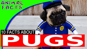Best Non Shedding Small Dogs by Toy Dog Breeds U2013 Animal Facts