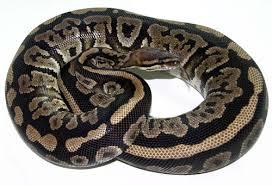 ball python care sheet