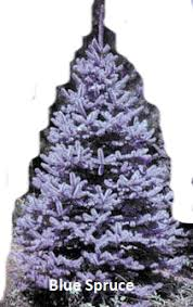 Best Smelling Christmas Tree Types by Christmas Tree Varieties Photos And Information To Choose The