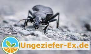 käfer im haus anti vermin ratgeber ungeziefer ex de