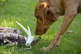 Springer Spaniel Shed Hunting by Shed Dogs Rehberger U0027s Bird Dogs