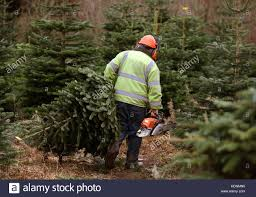 Nordmann Fir Christmas Trees Wholesale by Head Forester Bobby Mckinstray Of The Blair Drummond Estate Near